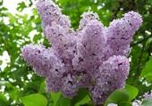 superbe lilas