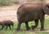 Des éléphanteaux jumeaux