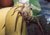araigné banane