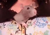 Quand ton rat est coquin