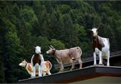 Des vaches sur un toit