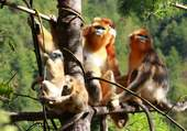 Forêts de Shennongjia
