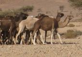 Chameaux au Maroc