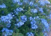 Très belle potée de fleurs bleues