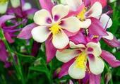 bouquet d'ancolies