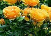 magnifiques roses jaunes
