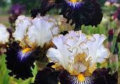 iris multicolores