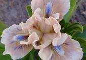 iris de fleuriste