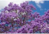 Floraison de Jacaranda