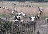 Moutons baie du Mont Saint-Michel