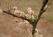 Amborella tricopodia