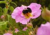 Insecte butinant une fleur de Corse