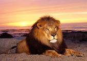 Lion roi...