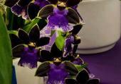 magnifique orchidées