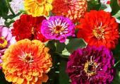 beau bouquet de zinias