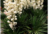 Fleur de Yucca