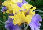 iris jaune et bleu
