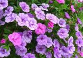 potée de jolies petites fleurs bleues