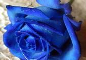 belle rose bleue