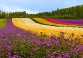 Champs de fleur