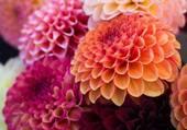 dahlias pompon multicolores