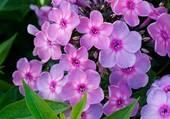 petites fleurs mauves