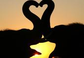 elephant amoureux