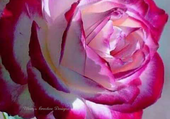 tres belle rose