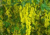 Cytise jaune