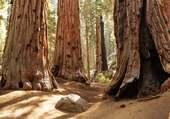 Mariposa Grove en Californie