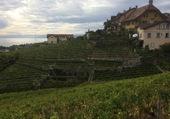 Vignoble dans le Lavaux/VD/Suisse