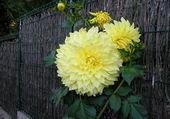 Superbe fleur de daliha. Dia. 23 cent.