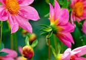 Jolies fleurs roses