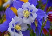 ancolies bleues