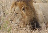 Lion curieux