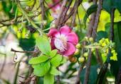 fleur d'australie