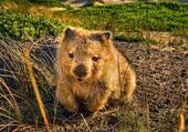 Wombat - Tasmanie, Australie