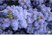 Lilas de Californie