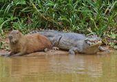 Croco & capybara