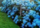 bordure d'hortensias bleus