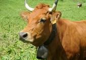 Jolie vache alpine