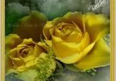 des roses jaune