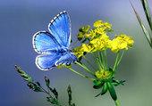 Azuré sur fleur jaune