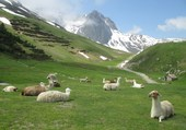 Lamas à la Mongie