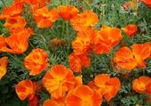Puzzle Pavots orange