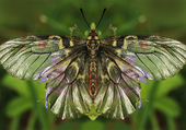 La Zerynthia Polyxena