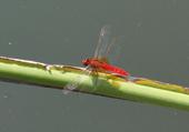 Puzzle libellule rouge