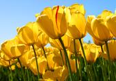 du jaune tulipe