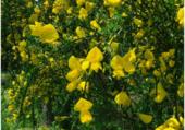 Genet jaune