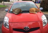 Puzzle deux chats